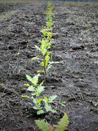 Romsilva marchează debutul Lunii Plantării Arborilor prin acțiuni de împădurire la nivelul direcțiilor silvice